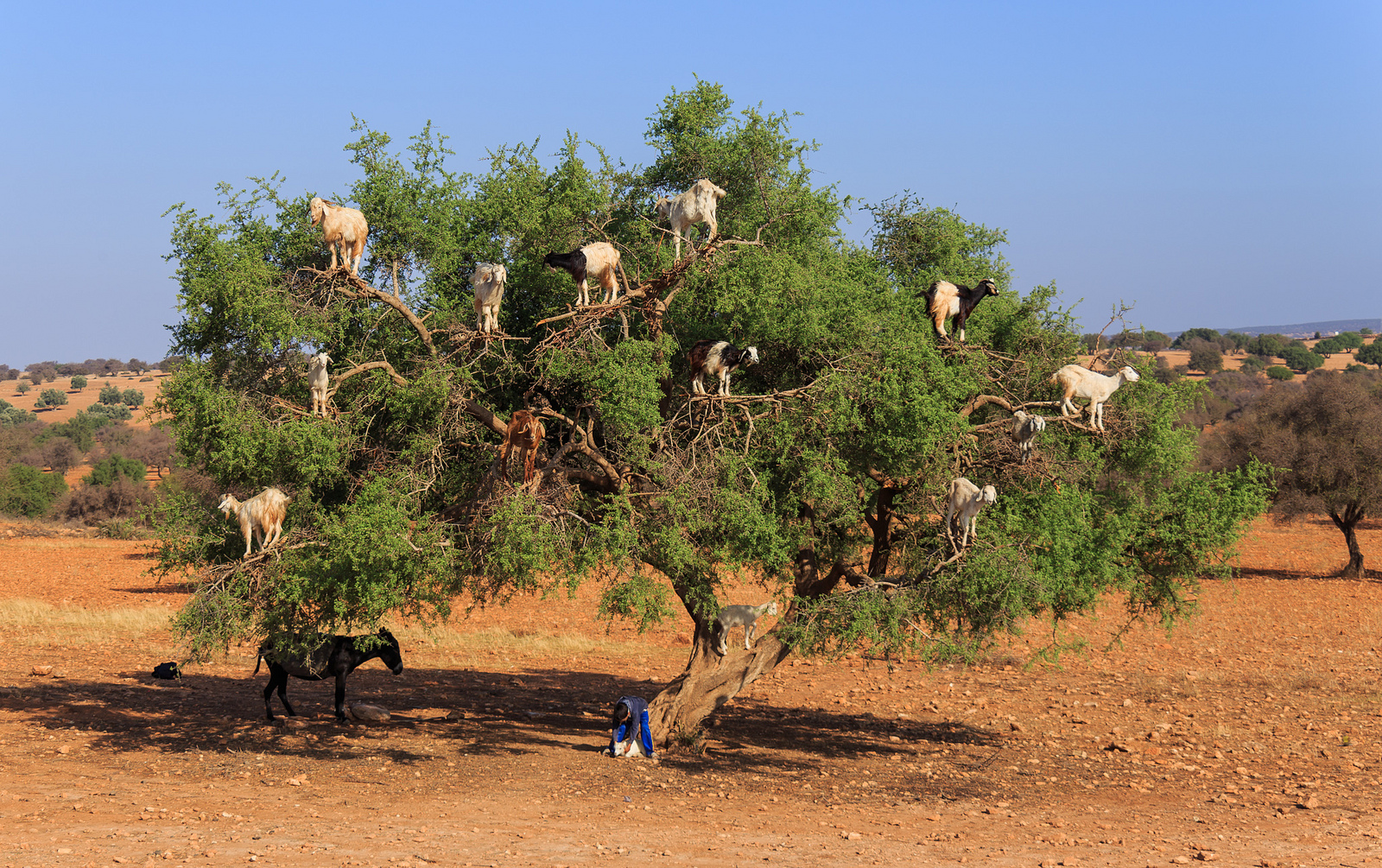 Source: http://whenonearth.net/wp-content/uploads/2013/11/tree-climbing-goats-morocco-woe1.jpg